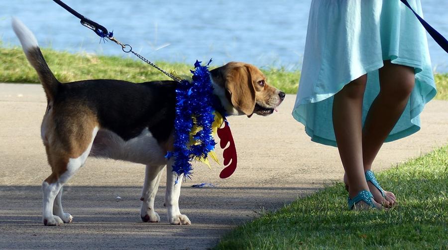 Yuletide Beagle